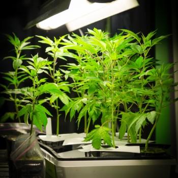 Growing Cannabis Image